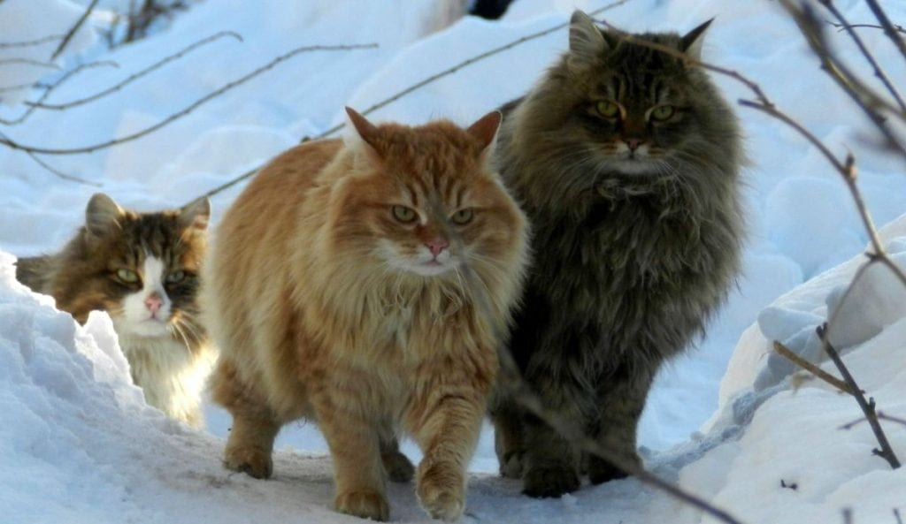 http://historythings.com/vikings-and-their-cats/